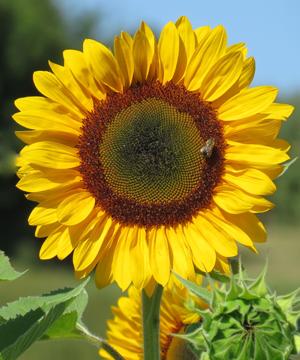 sunflower ngh a hoa t i. Black Bedroom Furniture Sets. Home Design Ideas